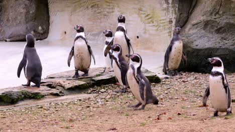 A-Huddle-of-Penguins-