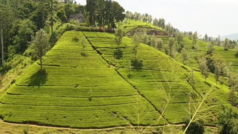 Lush-Tea-Field-in-Sri-Lanka