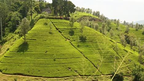 Lush-Tea-Field-in-Sri-Lanka