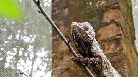 Malagasy-Giant-Chameleon-Eats-Cricket