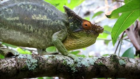 Male-Parsons-Chameleon