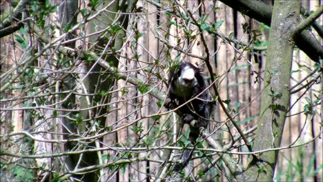 Marmoset-in-Branches