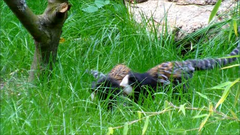 Two-Marmosets-in-Grass
