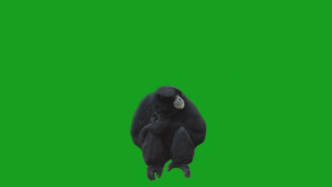 Mono-en-pantalla-verde