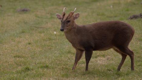Muntjac-Deer-Grazing