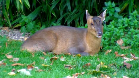 Chewing-Muntjac