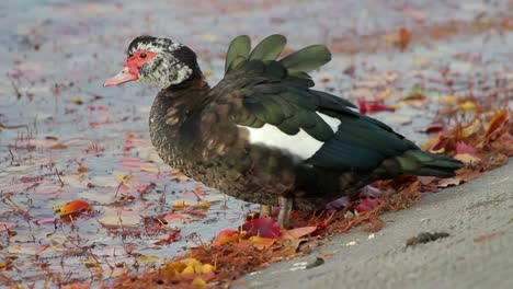 Muscovy-Duck-by-Leafy-Water