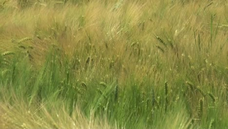 Barley-in-the-Wind