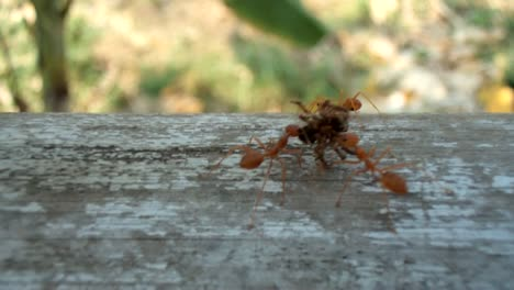 Ants-carrying-dead-spider