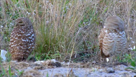 Pair-of-Burrowing-Owls