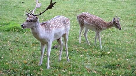 Pair-of-Fallow-Deers
