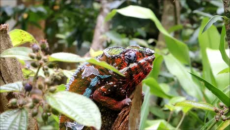 Panther-Chameleon-on-a-Branch