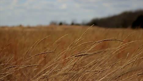 Peaceful-Barley-Field-(Rack-Focus)