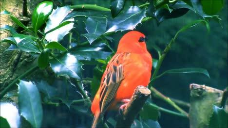 Red-Fody-Singing