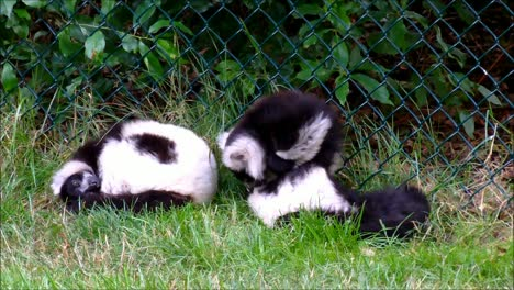Ruffed-Lemurs-in-Zoo
