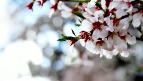 Japanese-Tree-Flowers