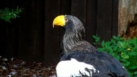 Stellers-Sea-Eagle-1