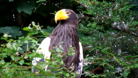 Stellers-Sea-Eagle-2