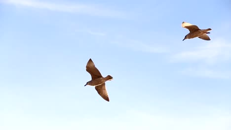 Seagulls-Flying-Overhead-CC-BY-NatureClip