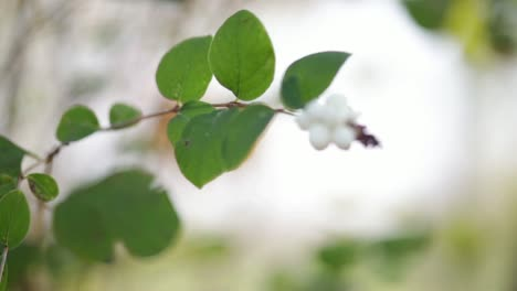 Tree-Berries-Pull-Focus