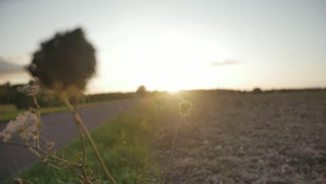 Wild-Flower-in-Sunset