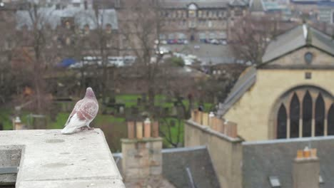 Albino-Pigeon-Watching-over-Edinburgh