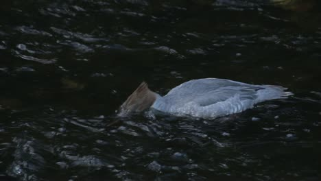 Female-Goosander-Feeding