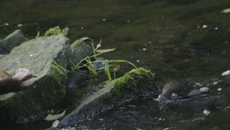 Dipper-Feeding-at-a-River