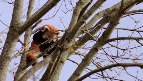 Red-Panda-Cleaning-Himself