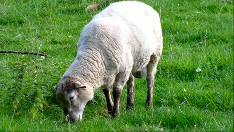 Sheep-Eating