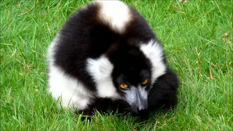 Ruffed-Lemur-2