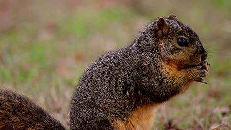 Squirrel-Explores-and-Eats-(Close)