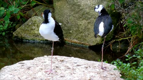 Black-Necked-Stilts-1