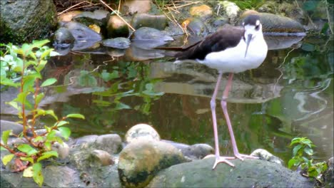 Black-Necked-Stilts-3