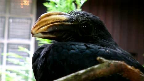 Sulawesi-Hornbill