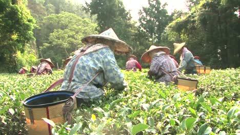 Taiwan-Tea-Farmers