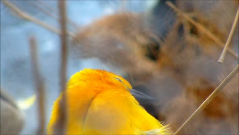 Taveta-Weaver-Close-Up