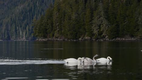 Trumpeter-Swans-Swimming-Together