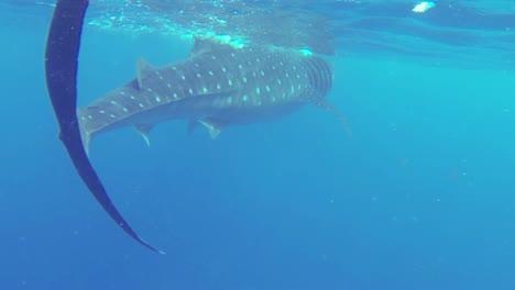 Whale-Shark-1-50fps