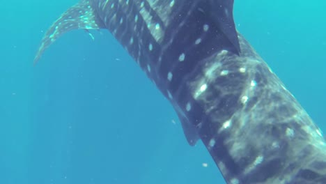 Whale-Shark-2-50fps