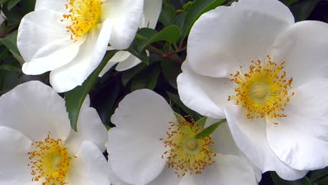 White-Flowers-Closeup-