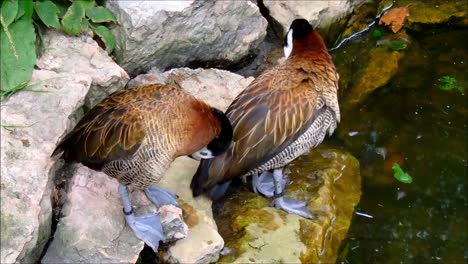 White-faced-Whistling-Ducks