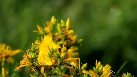 Bee-and-Yellow-Flowers