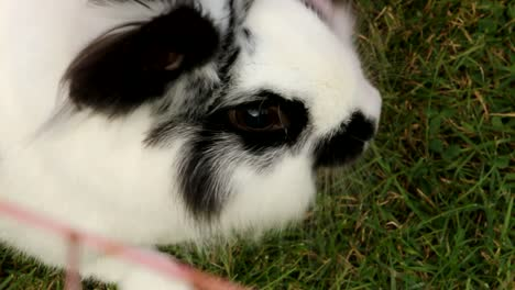 Black-White-Rabbit-on-Grass