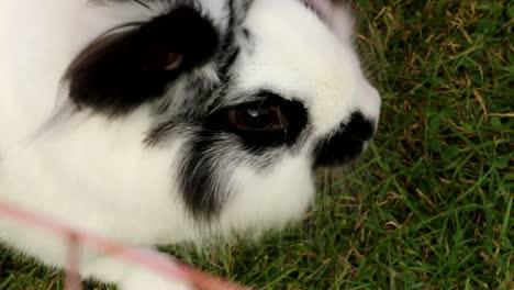 Black-White-Rabbit-on-Grass