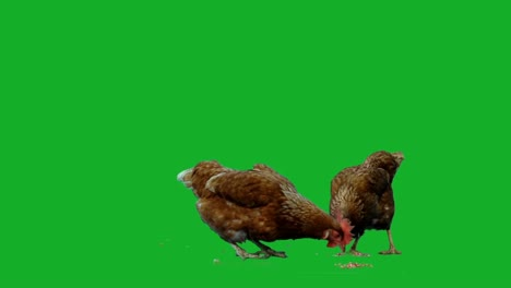 Chicken-on-Green-Screen