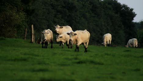 Cows-Walking-and-Grazing