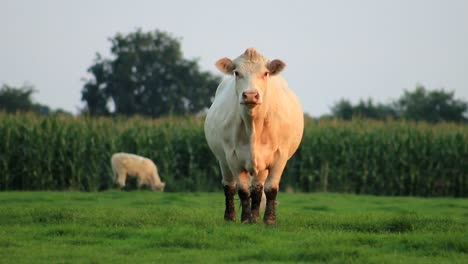 Cow-Watches-In-Camera
