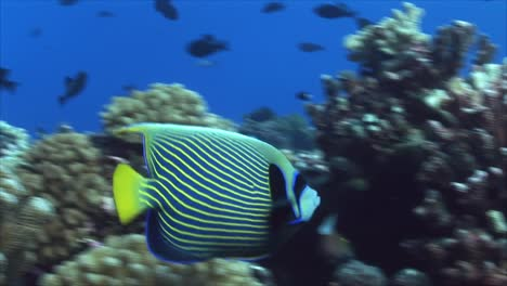 Tropical-Fish-Emperor-Angelfish