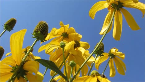 Yellow-Flowers-and-Blue-Sky